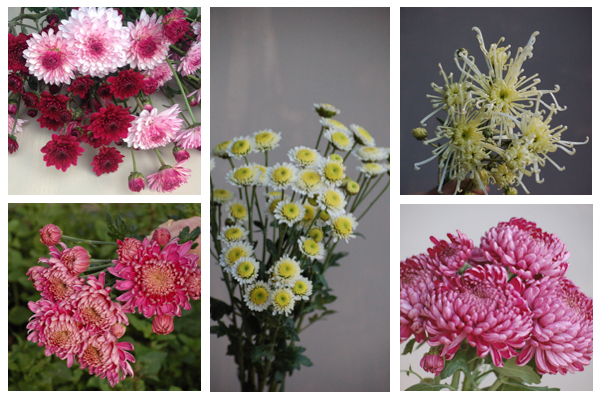 Pink and cream chrysanthemums-2