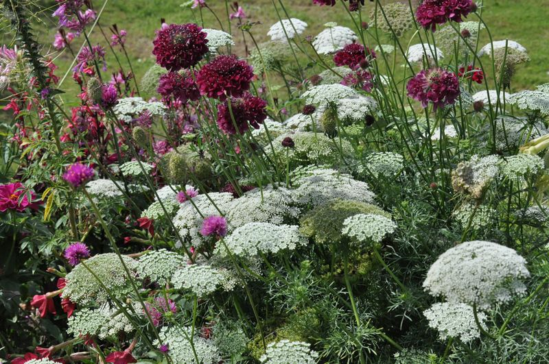 Ammi and scabious-1