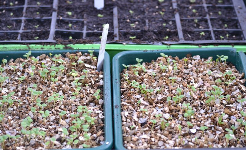 Trays of seedlings