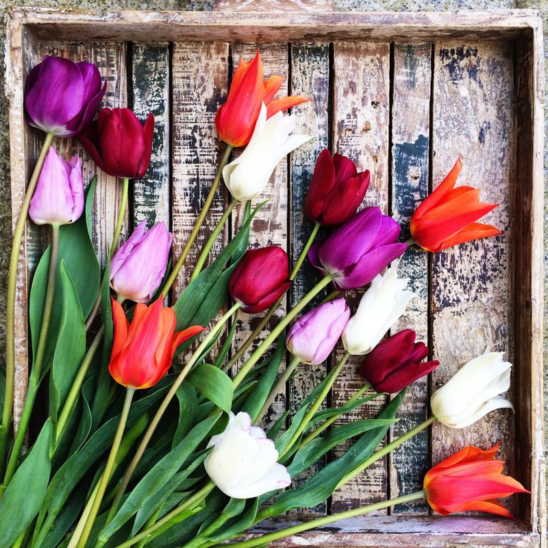 Square tulips photo