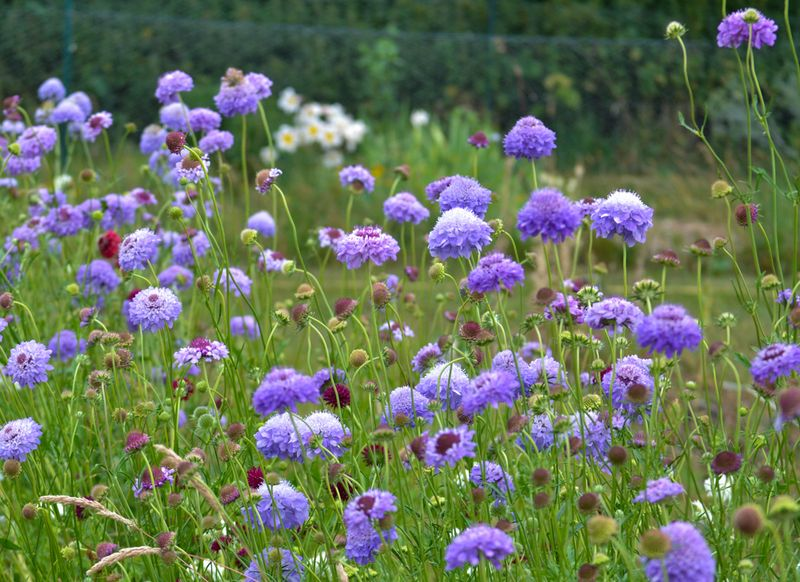 Blue Scabious bed