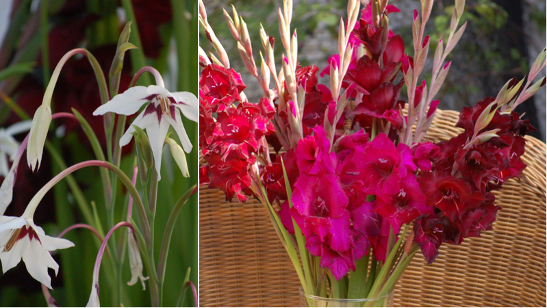 Gladioli and acidanthera