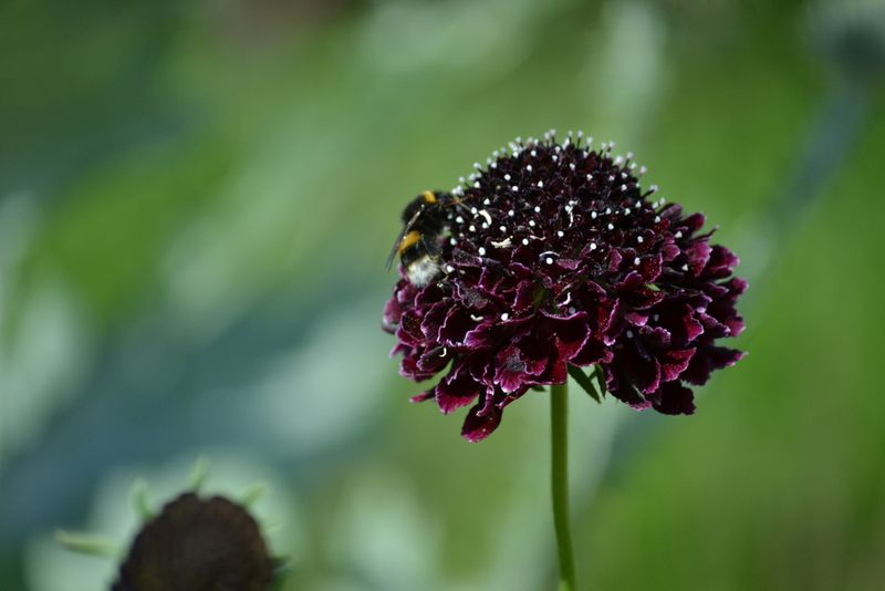 Dark Scabious with bee