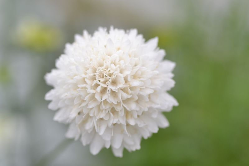 White scabious full flower-1