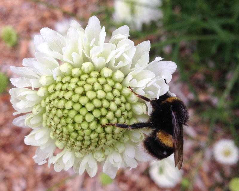 Scabious white with bee