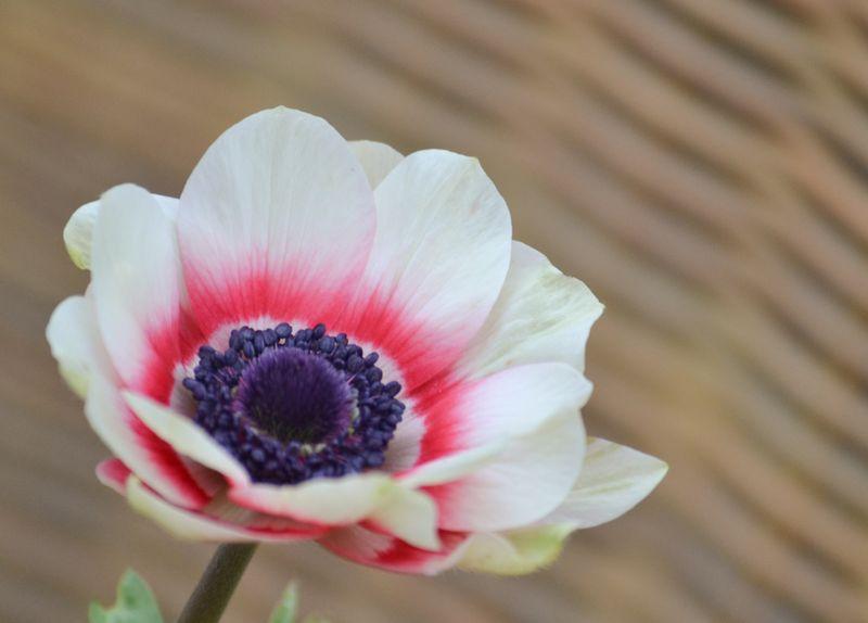 Bicolour anemone-1