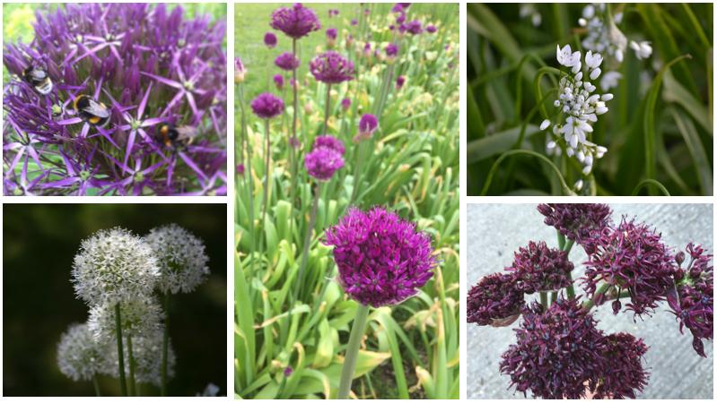 Allium montage