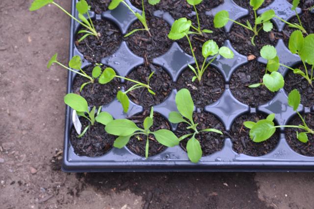 Bulplurum seedlings