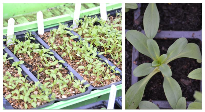 Gypsophila seedling montage