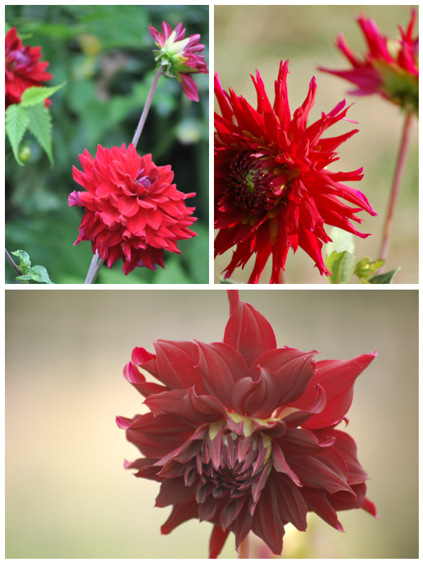 Red dahlias montage (1 of 1)