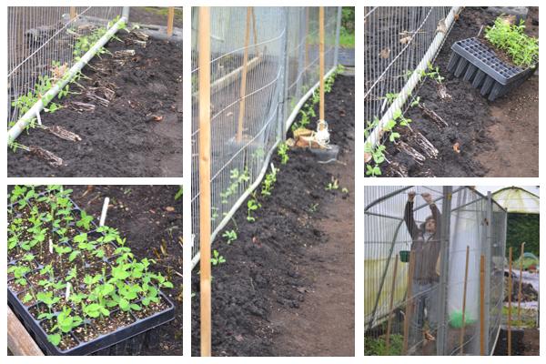 Sweet pea planting-1