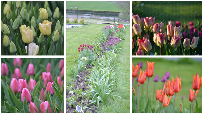 Tulips montage