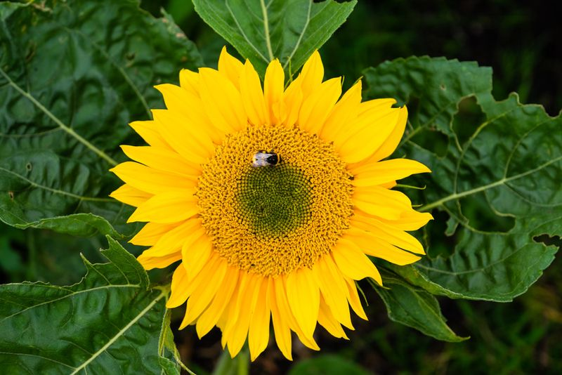 Sunflower with bee on