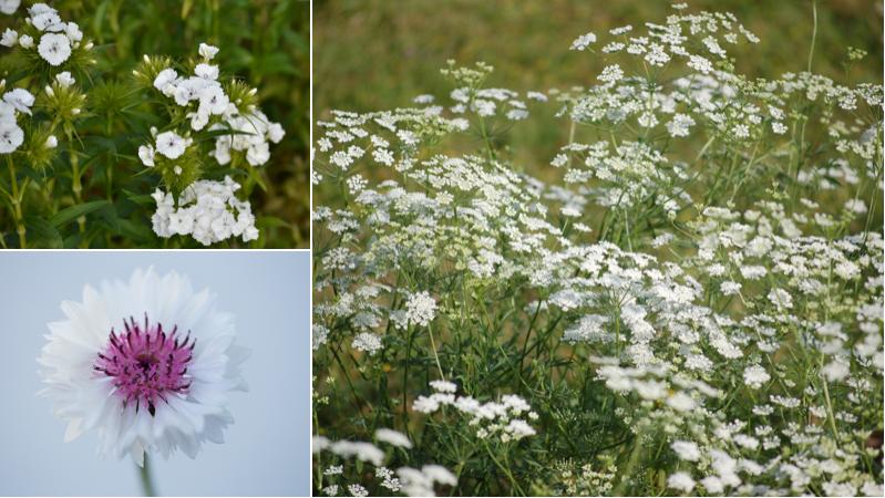 June Gypsophila alternatives