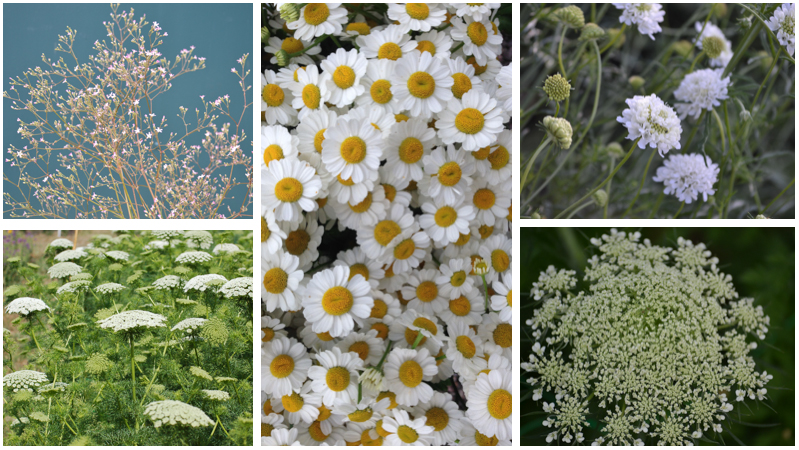 August Gypsophila alternatives