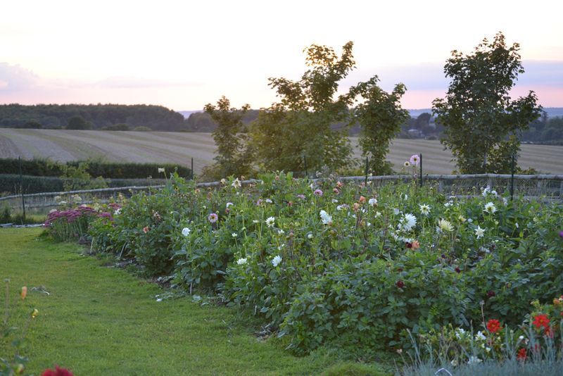 Dahlia beds in September 2015