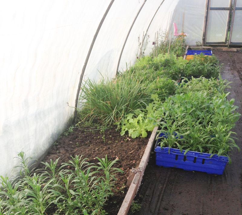 Polytunnel at Kilcoan