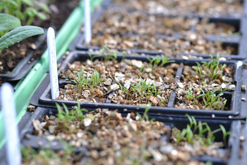 Ammi seedlings-1