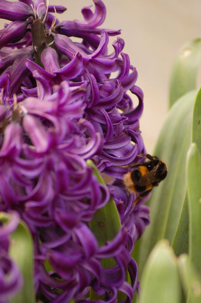 Bee on hyacinth
