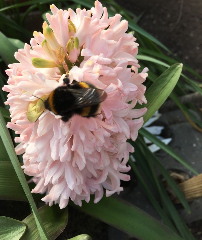 Bee enjoying a hyacinth