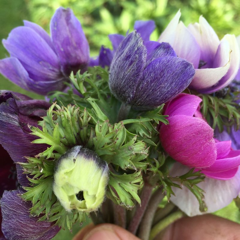Mini bunch of anemones