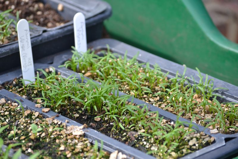 Visaga seedlings right stage for pricking out