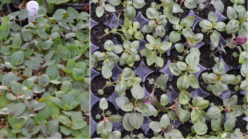 Antirrhinum seedlings
