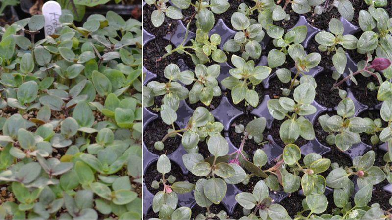 Antirrhinum seedlings