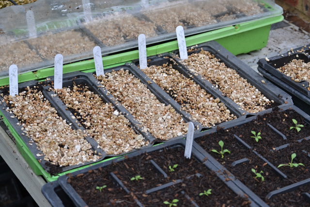 Seed trays newly sown