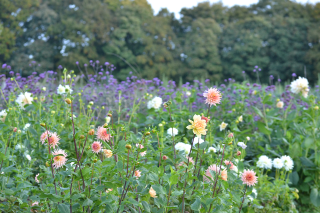 Dahlias with verbena behind